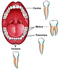 types of teeth, functions of teeth, different types of teeth, kinds of teeth